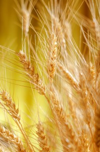 Spikelets of wheat on a blurred background.